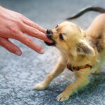 little charming adorable chihuahua puppy on blurred background. Attacking a persons hand.